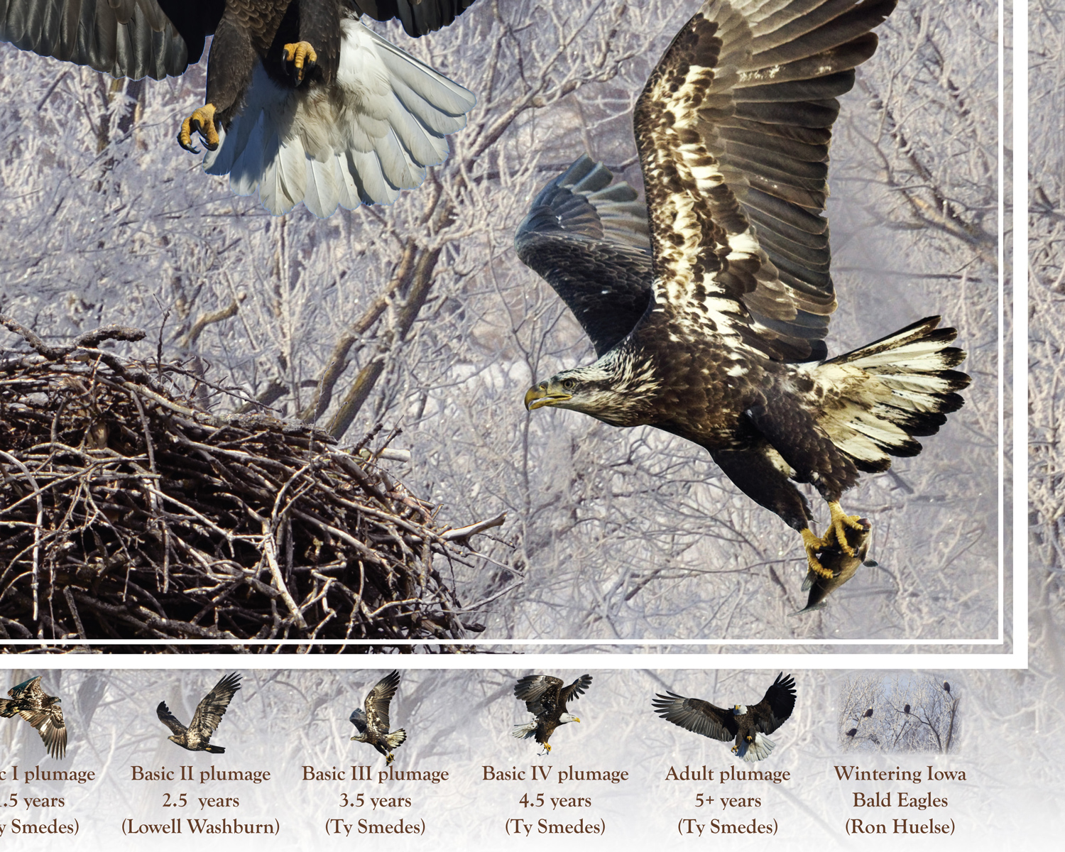 Bald Eagles of Iowa poster, by Billy Reiter