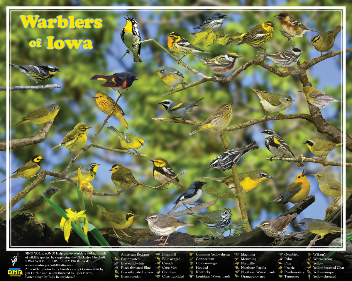 Warblers of Iowa poster, by Billy Reiter
