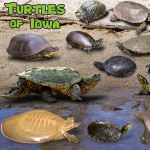 Turtles of Iowa poster, by Billy Reiter
